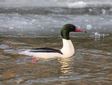 glimmer: Common merganser (North American) or goosander (Eurasian) (Mergus merganser) . Swimming Goosander male in a channel with a small glimmer open water in the otherwise in the winter ice frozen canal, wild life, outdoors, free,