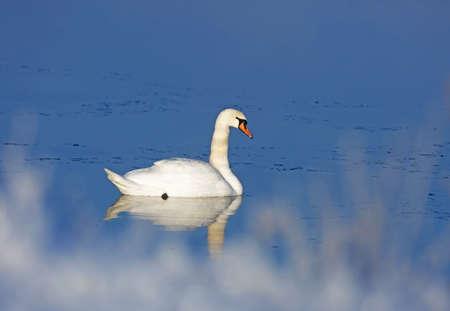 olor: Mute swan (Cygnus olor). Stock Photo