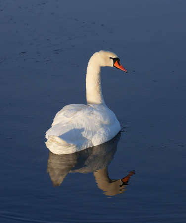 cygnus olor: Mute swan (Cygnus olor). Stock Photo