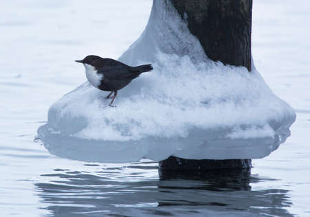 brown throated: white-throated dipper (Cinclus cinclus). Sitting under a bridge and prepared to dive for food in the icy water. Stock Photo