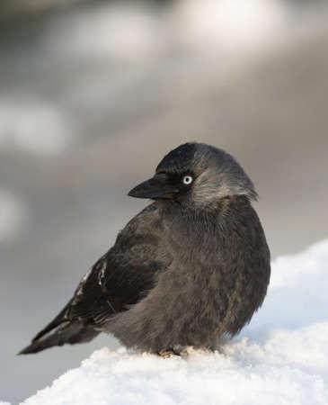 western european: Western jackdaw, Corvus monedula, European jackdaw