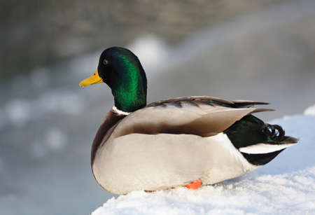 anas platyrhynchos: mallard, (Anas platyrhynchos). Mallard male, lying on the snow at the lake.
