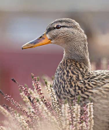 Mallard, Anas platyrhynchos. Female.
