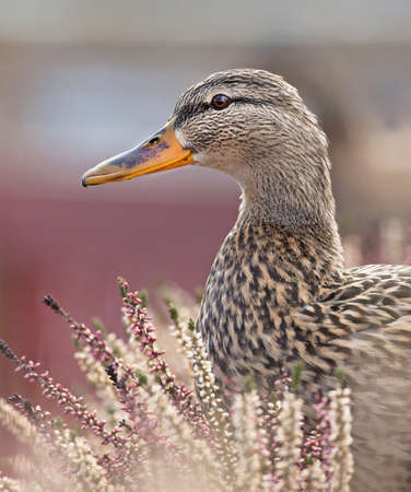 anas platyrhynchos: Mallard, Anas platyrhynchos. Female. Stock Photo