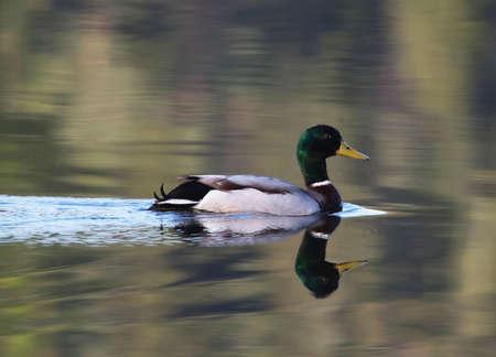 platyrhynchos: Mallard (Anas platyrhynchos). Male Mallard swimming in a lake one early morning in May.