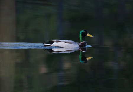 anas platyrhynchos: Mallard (Anas platyrhynchos). Male. Mallard swimming in a lake one early morning in May. Stock Photo