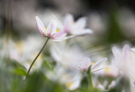 windflower: Anemone nemorosa is an early-spring flowering plant.