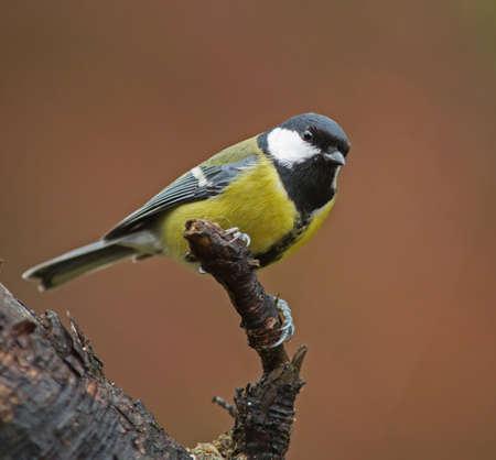 bird watcher: Parus major, Great tit