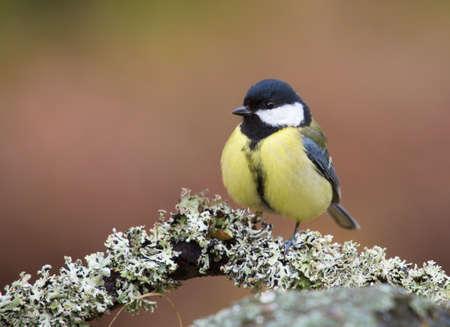 bird watcher: Parus major, Great tit, female. Stock Photo