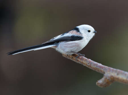 tailed: Long tailed tit (Aegithalos caudatus). A little sweet tailed Tit on a branch.
