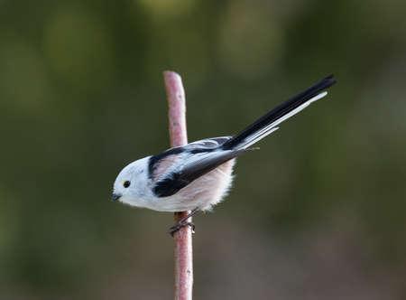 tailed: Long tailed tit (Aegithalos caudatus). Stock Photo