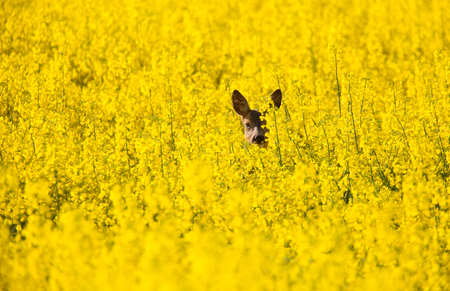 rapaseed: Fields with canola yellow flowers and a roe deer. Stock Photo