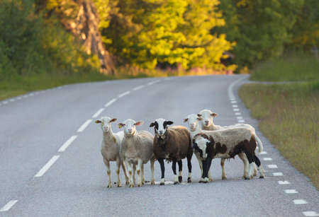 escaped: A group of sheep that escaped from their pastures and instead set out on a road.