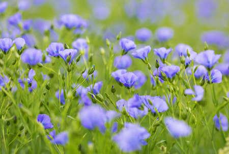 El campo arable con hermosas flores de lino. Foto de archivo