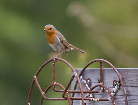 rubecula: Robin, A sweet and very popular little bird. (erithacus rubecula).