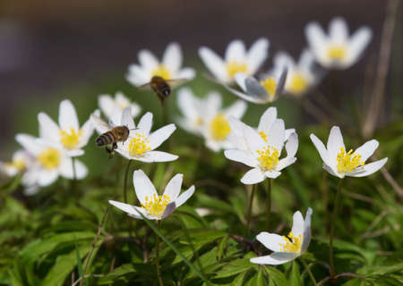 flowering plant: Anemone nemorosa is an early-spring flowering plant Stock Photo