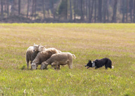 herding dog: Border collie herding a group of sheep. Stock Photo