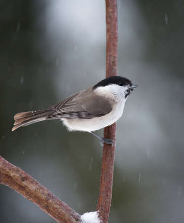 poecile palustris: Marsh tit, Poecile palustris.