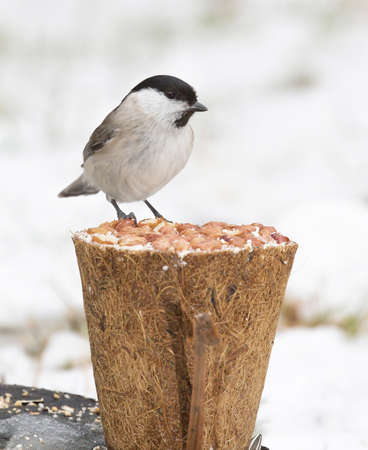 poecile palustris: Marsh tit, (Poecile palustris). Stock Photo