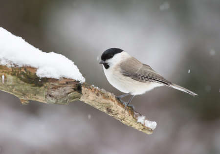 song bird: Marsh tit, (Poecile palustris). Stock Photo