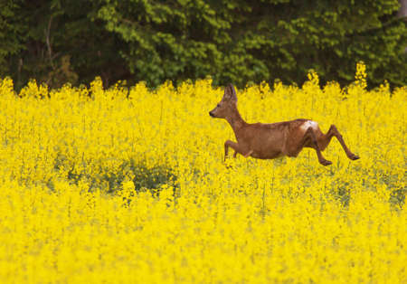 fleeing: Deer fleeing across the yellow canola field Stock Photo