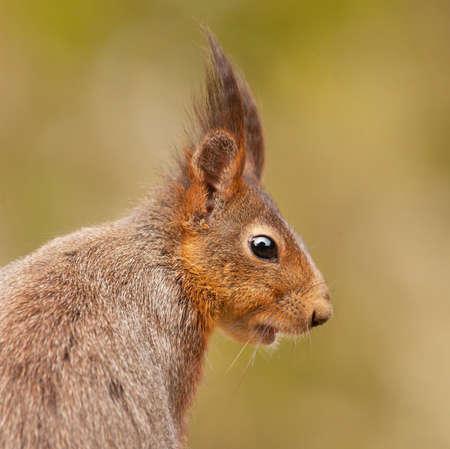 vulgaris: Eurasian red squirrel (Sciurus vulgaris).