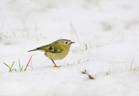 smallest: A wet Goldcrest standing in the snow on a rainy winter day. The goldcrest is the smallest European bird. Stock Photo