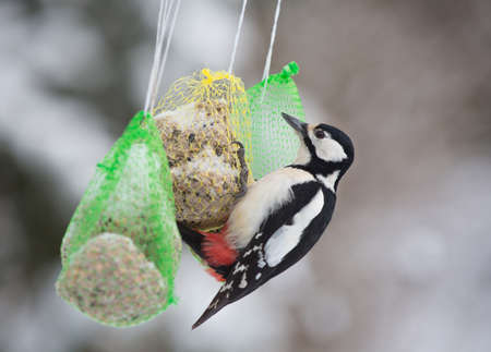 spotted: Dendrocopos major, Great spotted woodpecker