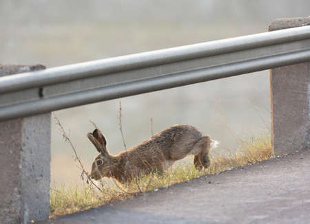 escaping: Hare escaping from the traffic on the road.