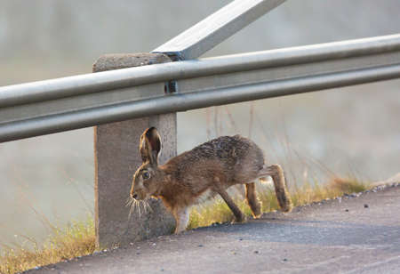 escapes: Hare escaping from the traffic on the road.