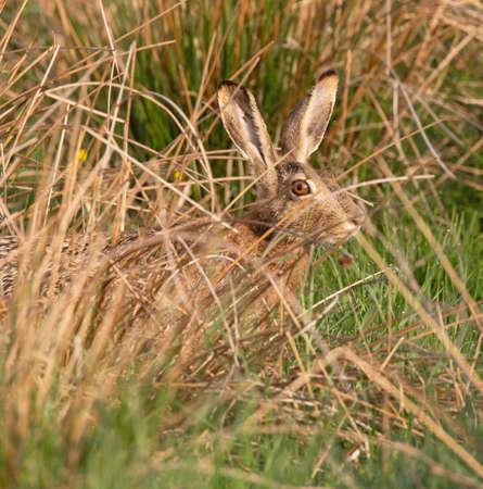 european rabbit: The European hare (Lepus europaeus), also known as the brown hare.