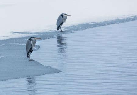 edge of the ice: Heron standing on ice edge. Stock Photo