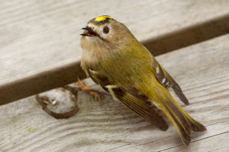 smallest: Goldcrest (Regulus regulus). The goldcrest is the smallest European bird. A small Goldcrest that crashed in a window, it sitting and recovering, and then fly on. Stock Photo