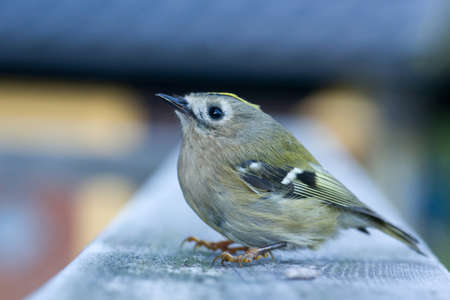 smallest: Goldcrest (Regulus regulus). The goldcrest is the smallest European bird.