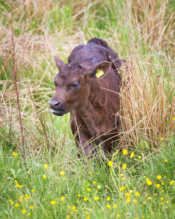 close your eyes: Calf grazing in the grass