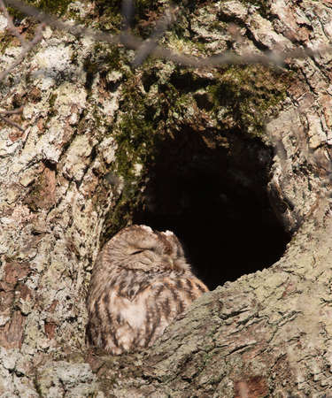 tawny owl: Tawny owl or brown owl (Strix aluco). Sitting in their nest holes and rests on a winter day in January Stock Photo