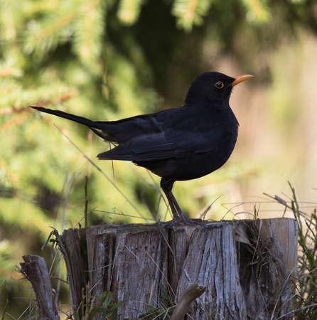 turdus: Common blackbird (Turdus merula) Eurasian blackbird. Swedens national bird,