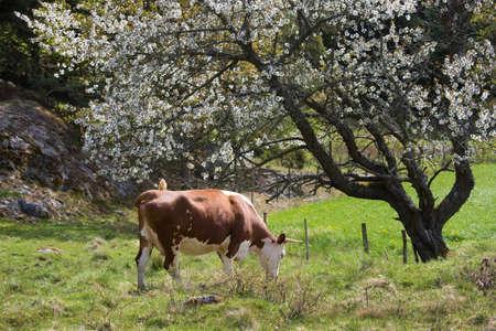 close your eyes: Cow under flowering tree Stock Photo