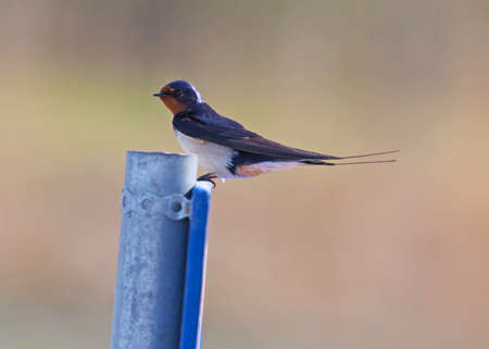 the ornithology: Barn swallow (Hirundo rustica).