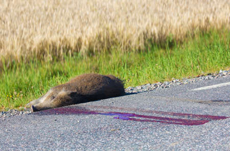 wild boar: Traffic Killed wild boar on the roadside Stock Photo