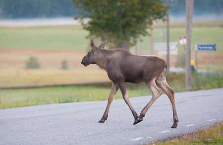 moose hunting: Calf crossing road Stock Photo