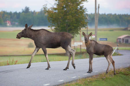 moose hunting: Moose cow with calf crossing a road