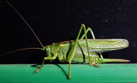 Great Green Bush Cricket,. Tettigonia viridissima