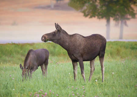 moose hunting: Grazing Moose with calf