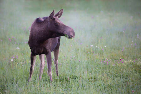 moose hunting: Grazing Moose Stock Photo