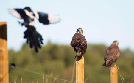pica: buzzards sitting on each pole and a landing magpie.
