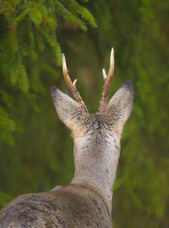 Roe deer (Capreolus capreolus) in the forest environment. Stock Photo