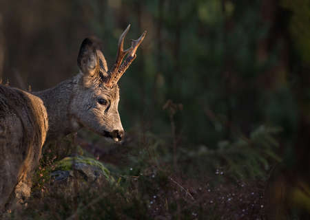 timid: Roe deer (Capreolus capreolus) in the forest environment.