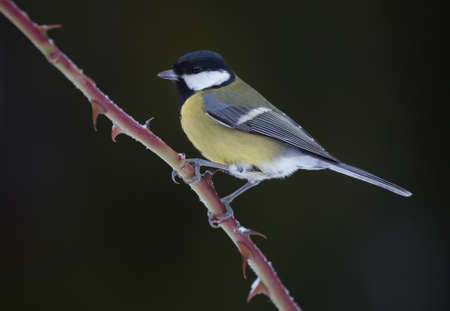 bird watcher: Parus major (Great tit). Great tit sitting on a thorny branch of a rose bush.