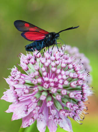 lonicerae: (Zygaenidae), Zygaena lonicerae